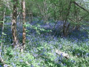 Bluebells in Warnham woods