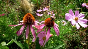 Wonderful Echinacea purpurea  with bee collecting pollen